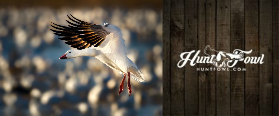 Snow-Goose-Hunting-Guides