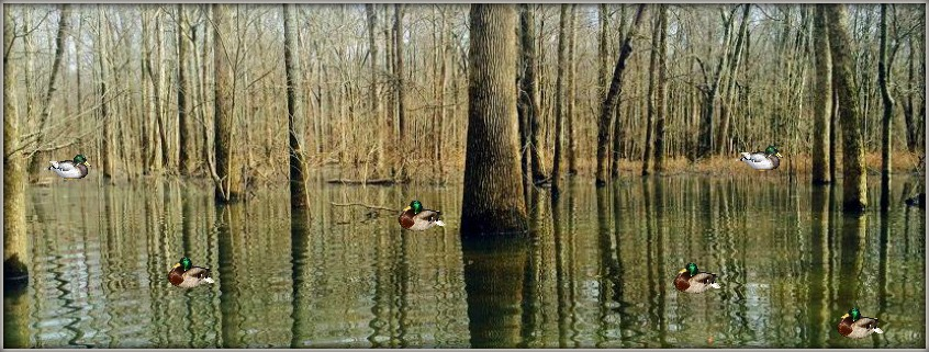 flooded-timber-duck-hunting