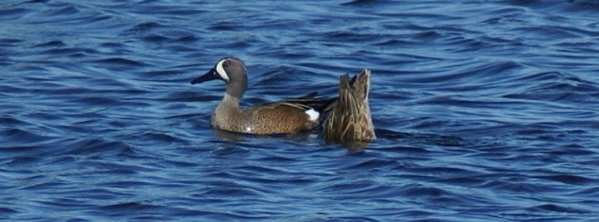 waterfowl-identification